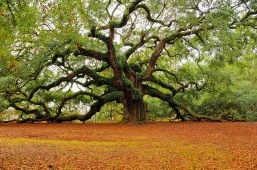 angel-oak-tree-l