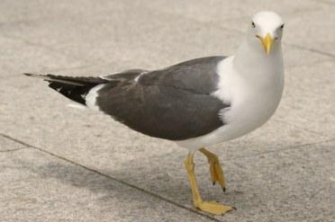 seagull-238