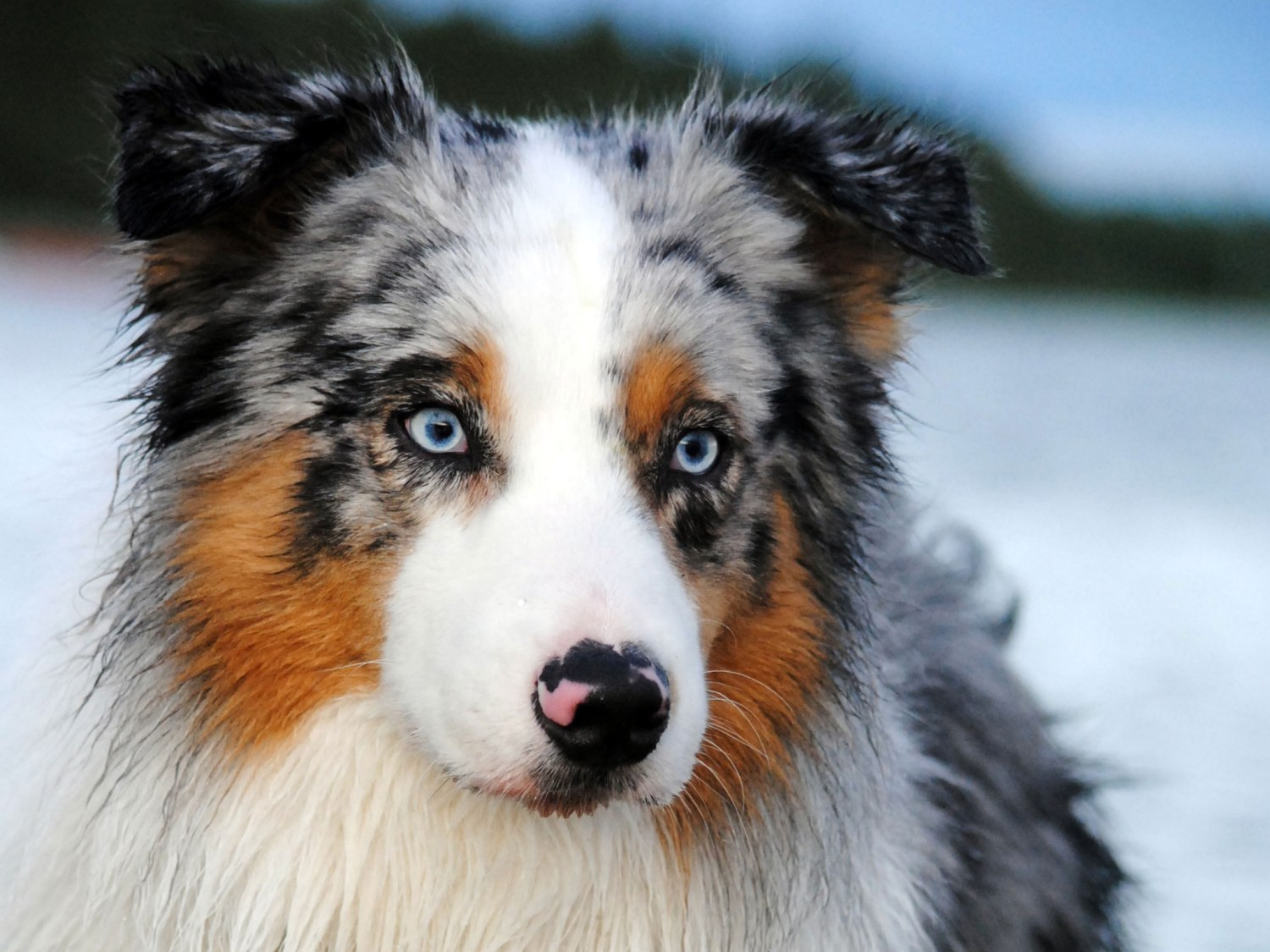 australian_shepherd_long_hair_on_snow_dog_wallpaper