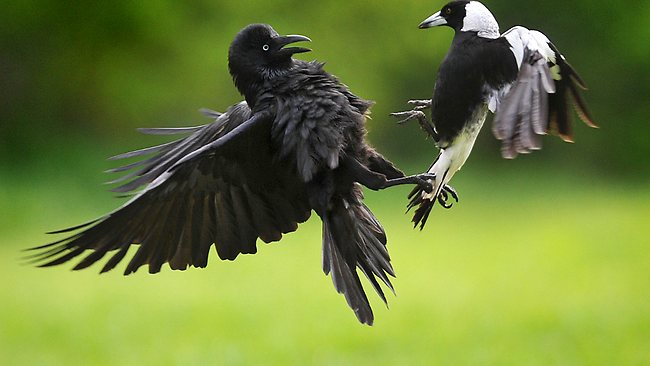 774458-turf-war-between-a-magpie-and-a-crow
