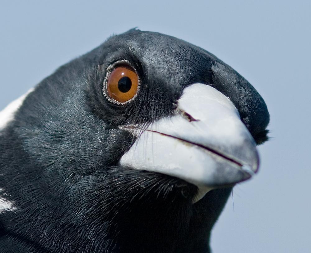 Australian Magpie IMG_0775