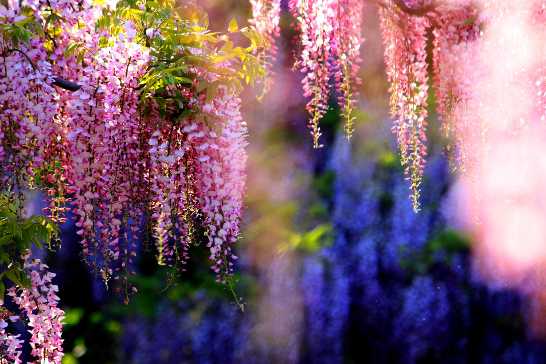 pink-wisteria-298296