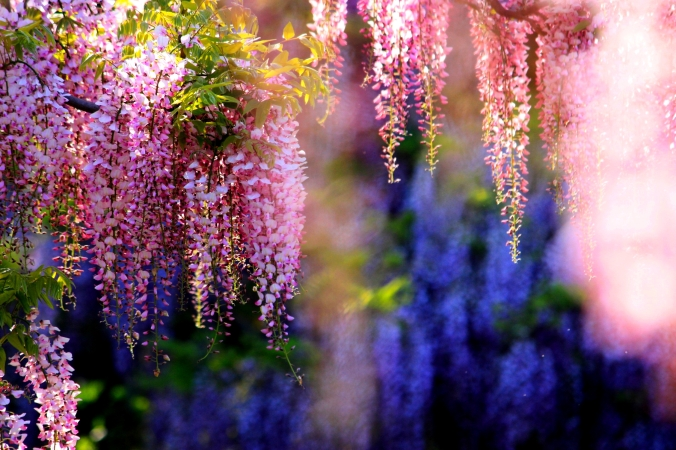 pink-wisteria-298296