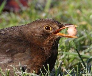 Blackbird female with berry Stokesay churchyard cu 3 1 09  IMG_0538
