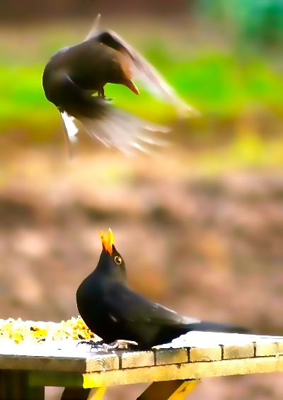 female~and~male~blackbirds~crop~600